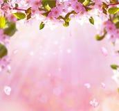 Spring apple blossom background Stock Photos