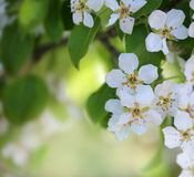 Spring apple blossom background Royalty Free Stock Photos