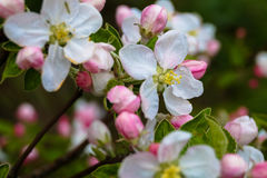 Spring Apple-blossom. The branch of a tree Stock Photo