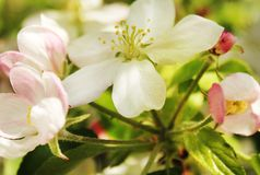 Spring apple blossom Stock Images