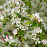 Spring apple blossom Royalty Free Stock Photography
