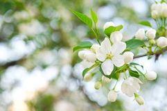 Spring Apple blossom with white flowers in the Park on a bright Sunny day. Close-up, selective focus stock photos