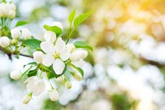 Spring Apple blossom with white flowers in the Park on a bright Sunny day. Close-up, selective focus royalty free stock photography