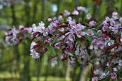 Spring apple blossoms, in garden, spring Stock Images