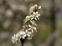 Spring apple blossoms, landscape, nature Stock Photography