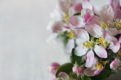 Spring apple flowers Stock Photo