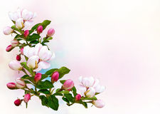 Spring Apple flowers background Stock Images