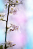 Spring apple flowers blossom blurred picture. Apple flowers blossom blurred picture royalty free stock image