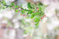 Spring apple flowers Royalty Free Stock Photo