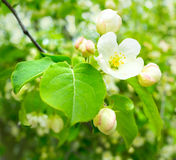 Spring apple flowers Stock Image