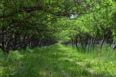 Spring Apple fruit trees orchard. Row of apple trees with green grass and dandelions in Utah, USA. United States royalty free stock photos