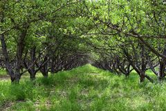 Spring Apple fruit trees orchard. Row of apple trees with green grass and dandelions in Utah, USA. United States royalty free stock image