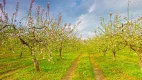 Spring apple garden with flowers and dandelions, timelapse