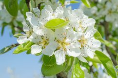 Spring apple. On the morning Royalty Free Stock Images