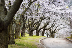 Spring apple orchard. Row of blooming apple trees in spring orchard Stock Photography