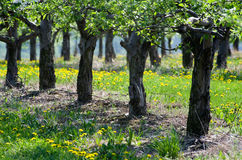 Spring apple orchard Royalty Free Stock Photography