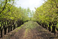 Spring in apple orchard background. Row of blooming apple trees Royalty Free Stock Photos