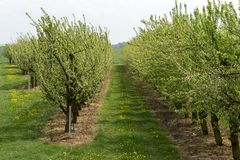 Spring in apple orchard background stock photo