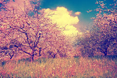 Spring apple orchard Royalty Free Stock Photos