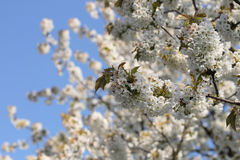 Spring apple tree Royalty Free Stock Images