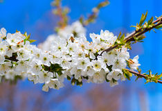 Spring apple tree against blue sky Royalty Free Stock Photography
