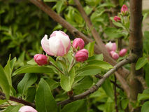 Spring apple tree Stock Photography