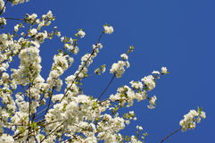 Spring apple tree. Blooming apple branches during spring Royalty Free Stock Photography