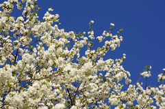 Spring apple tree. Blooming apple tree flowers on the blue sky Stock Photos