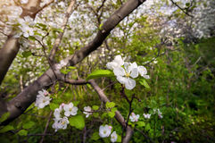 Spring Apple tree Royalty Free Stock Image