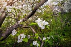 Spring Apple tree Royalty Free Stock Image