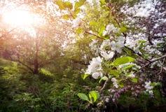 Spring Apple tree Stock Photography