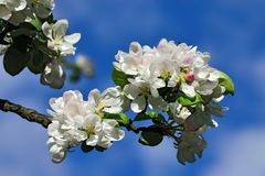 Spring. Apple tree in blossom Royalty Free Stock Photos