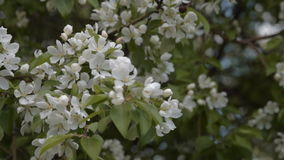 Spring apple tree blossom. Blooming apple tree. Branch with flowers waving in light wind. Blossom in spring stock video footage