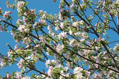 Spring apple tree blossom closeup Royalty Free Stock Photography