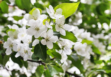 Spring. The apple tree is in blossom. stock images