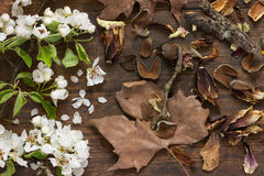 Spring apple tree blossoms and autumn leaves on wooden background as still life. Fresh branches of an apple tree with white flowers and fresh green leaves with Stock Images