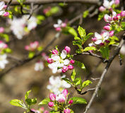 Spring apple tree blossoms Royalty Free Stock Photography