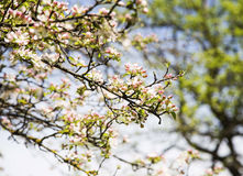 Spring apple tree blossoms Royalty Free Stock Image