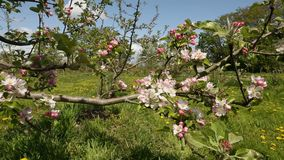 Spring Apple Tree Blossoms dolly shot stock footage