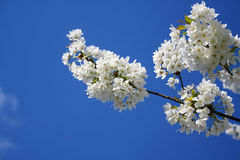 Spring. Apple tree branch with flowers Stock Photo