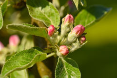 Spring apple tree buds Royalty Free Stock Photography