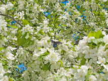 Spring apple tree flowers background Stock Image