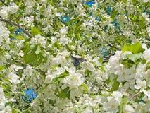 Spring apple tree flowers background Stock Image