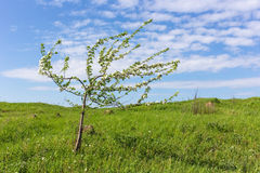 Spring apple tree Stock Image