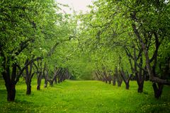 Spring apple trees Royalty Free Stock Images