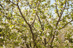 Spring. apple Trees in Blossom. flowers of apple. white blooms of blossoming tree close up. Beautiful spring apricot tree with whi Stock Photo
