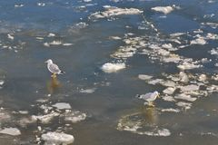 Gulls walk along the frozen river in opposite directions royalty free stock photo
