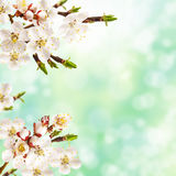 Spring apricot. Stock Images