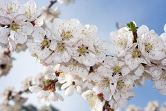 Spring apricot blossom Stock Images