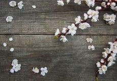 Spring apricot  blossom Stock Photo